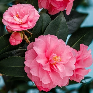 Camellia Hyb Spring Festival 7.5L