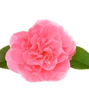Camellia Marie Bracey 3L Pot
