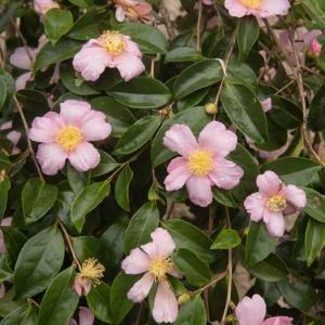 Camellia Plantation Pink 3L