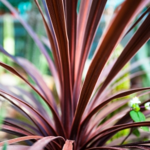 Cordyline Festival Burgundy 2L Pot