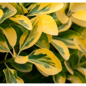 Golden Privet 3L Pot