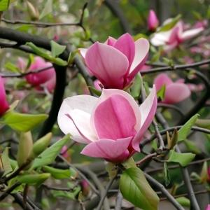Magnolia Soulangeana Alexandrina 3L Pot