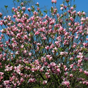 Magnolia Soulangeana Ricki 3L Pot