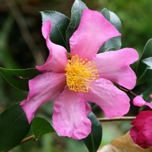 Camellia Sasanqua Hugh Evans 7.5L
