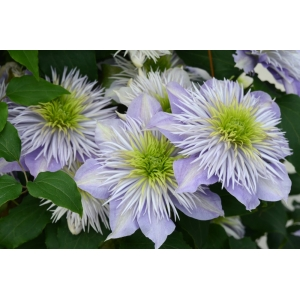 Clematis Crystal Fountain Evipo038 3L