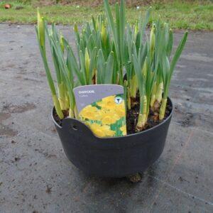 Daffodil Cauldron 30cm