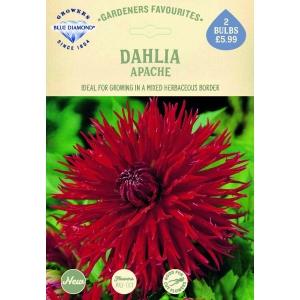 Dahlia Apache