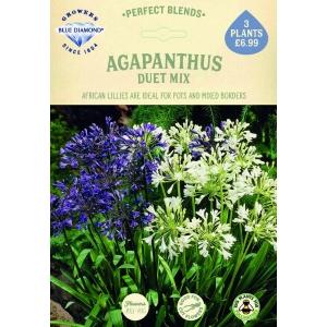 Agapanthus Duet Mix