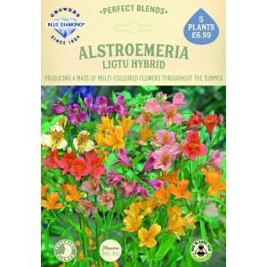 Alstroemeria Ligtu Hybrid