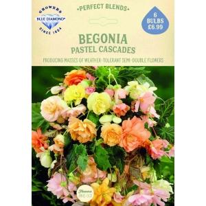 Begonia Pastel Cascades