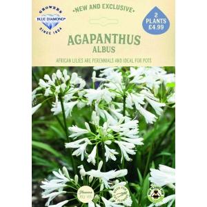 Agapanthus Albus