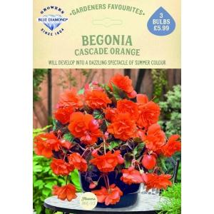 Begonia Cascade Orange