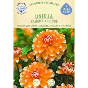 Dahlia Bahama Apricot