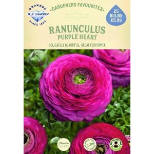 Ranunculus Purple Heart