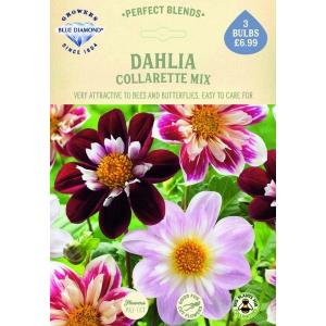 Dahlia Collarette Mix