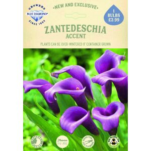 Zantedeschia Accent