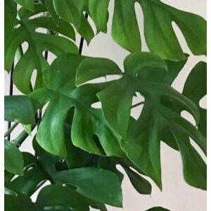 Philodendron COCOZ® Pot 11cm