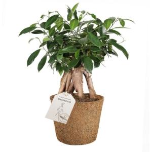 Ficus Ginseng COCOZ® Pot 17cm