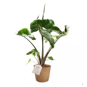 Alocasia COCOZ® Pot 17cm