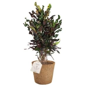 Codiaeum COCOZ® Pot 17cm