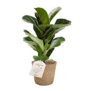 Ficus Lyrata COCOZ® Pot 11cm