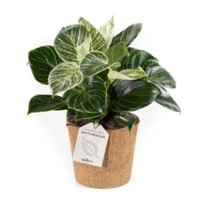 Philodendron White Measure COCOZ® Pot 11cm