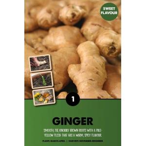 Ginger – Zingiber Officinale