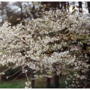 Prunus Incisa Praecox Tw 45cm 11.5L