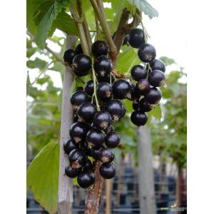 Ribes Tiben 3.5L