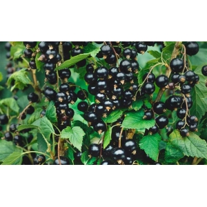 Ribes Tisel 3.5L