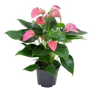 Anthurium 'Joli Pink' 12cm Pot