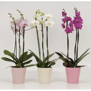 Moth Orchid 3-Branch 'Multiflora' with Ceramic Pot
