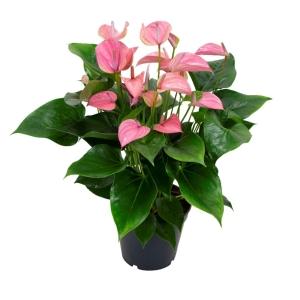 Anthurium 'Joli Pink' 17cm Pot
