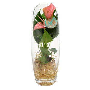 Anthurium 'Joli Pink' Aqua Glass Vase 10cm
