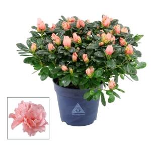 Indoor Azalea 'Christine Matton' Pink 13cm