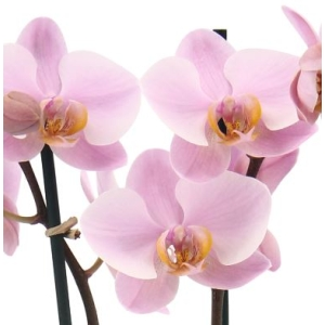 Moth Orchid 'Mother's Love' 12cm