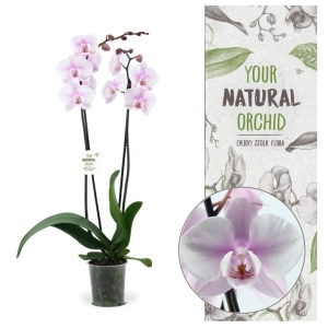 Moth Orchid 'To The Moon & Back' 12cm