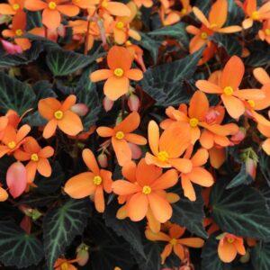 Begonia Glowing Embers 1 Litre pot
