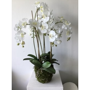 Orchid in Moss Pot Large