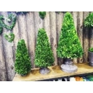86cm tall buxus cone in pot ( large )