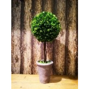 60cm tall buxus ball tree in pot