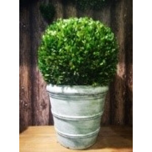 75cm large buxus ball in light green pot