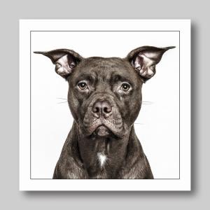 Brown Dog Bulldog Cross