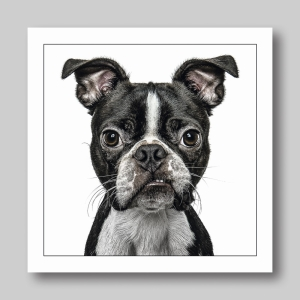 Black And White Dog Boston Terrier