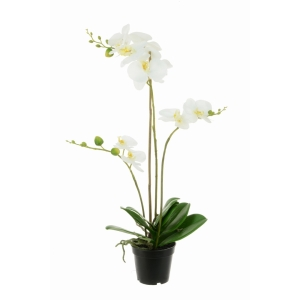 Phalaenopsis In Black Pot White