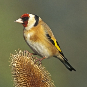 Noise Card Goldfinch