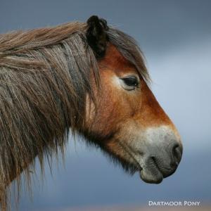 Noise Card Dartmoor Pony