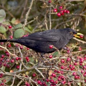 Noise Card Blackbird