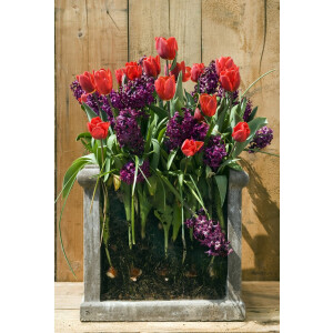 Layered Planting Bulbs Red & Purple Collection