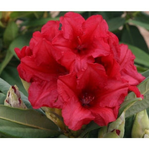 Rhododendron Hybrid Red 5L
